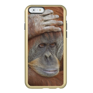 Female Sumatran Orangutan, Pongo pygmaeus Incipio Feather® Shine iPhone 6 Case