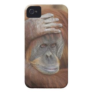 Female Sumatran Orangutan, Pongo pygmaeus iPhone 4 Covers