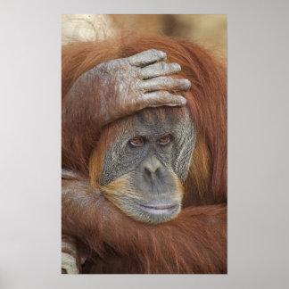 Female Sumatran Orangutan, Pongo pygmaeus Poster