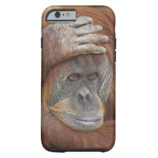 Female Sumatran Orangutan, Pongo pygmaeus Tough iPhone 6 Case
