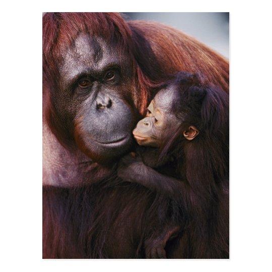 Female Sumatran Orangutan with baby, Pongo Postcard