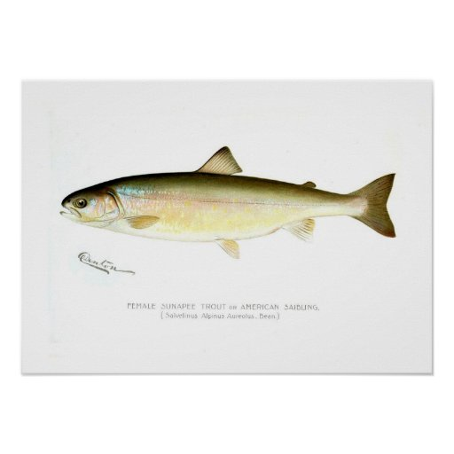Female Sunapee Trout Poster