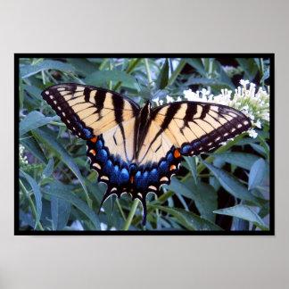 Female Tiger Swallowtail Print