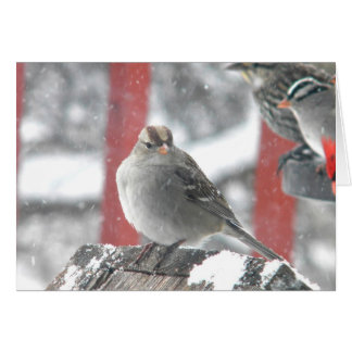 Female White-Polled Sparrow Cards