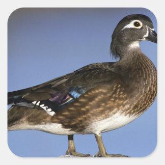 Female wood duck, Canada Square Sticker