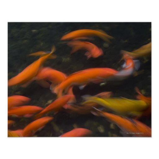 Feng shui believe koi fish bring good luck poster zazzle for Lucky koi fish