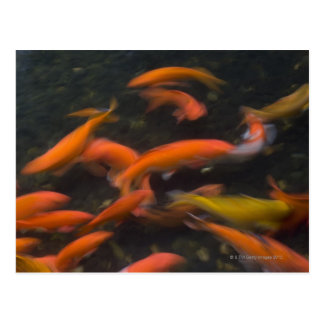 Feng Shui cree que los pescados del koi trae buena Tarjeta Postal