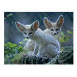 Fennec Foxes Postcard