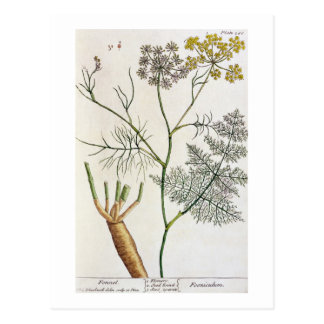 Fennel, plate 288 from 'A Curious Herbal', publish Postcard