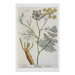 Fennel, plate 288 from 'A Curious Herbal', publish Poster