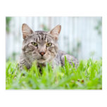 Feral cat on the lawn post card