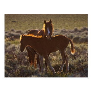 Feral Horse Equus caballus) adult and colt in Postcard