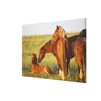 Feral Horse Equus caballus) adult smelling Gallery Wrap Canvas