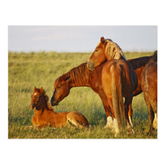 Feral Horse Equus caballus) adult smelling Postcard