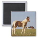 Feral Horse Equus caballus) colt with herd in 2 Inch Square Magnet