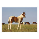 Feral Horse Equus caballus) colt with herd in Photo Print