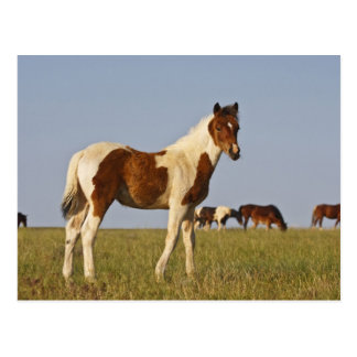 Feral Horse Equus caballus) colt with herd in Postcard