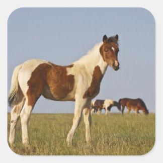 Feral Horse Equus caballus) colt with herd in Square Sticker