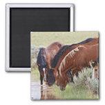Feral Horse Equus caballus) herd drinking in 2 Inch Square Magnet