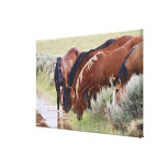 Feral Horse Equus caballus) herd drinking in Canvas Print
