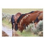 Feral Horse Equus caballus) herd drinking in Photo Print