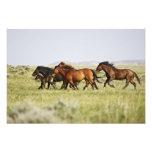 Feral Horse Equus caballus) herd of wild Photo Art
