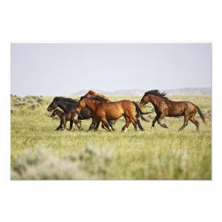 Feral Horse Equus caballus herd of wild Photo Print
