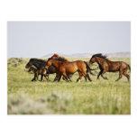 Feral Horse Equus caballus) herd of wild Postcard