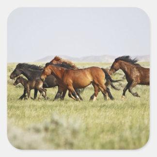 Feral Horse Equus caballus) herd of wild Square Sticker