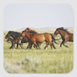 Feral Horse Equus caballus) herd of wild Stickers