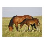 Feral Horse Equus caballus) wild horse mother Postcard