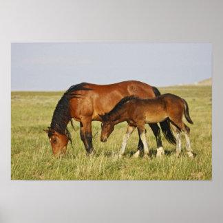 Feral Horse Equus caballus) wild horse mother Poster