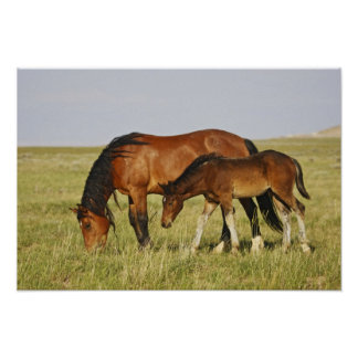 Feral Horse Equus caballus) wild horse mother Posters