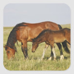 Feral Horse Equus caballus) wild horse mother Stickers