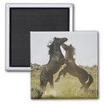 Feral Horse Equus caballus) wild horses 2 Inch Square Magnet