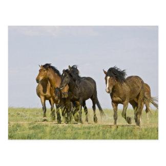 Feral Horse Equus caballus) wild horses 3 Postcard