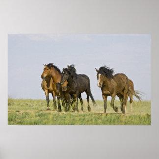Feral Horse Equus caballus) wild horses 3 Poster