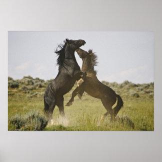 Feral Horse Equus caballus) wild horses Poster