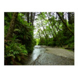 Fern Canyon II at Redwood National Park Postcard