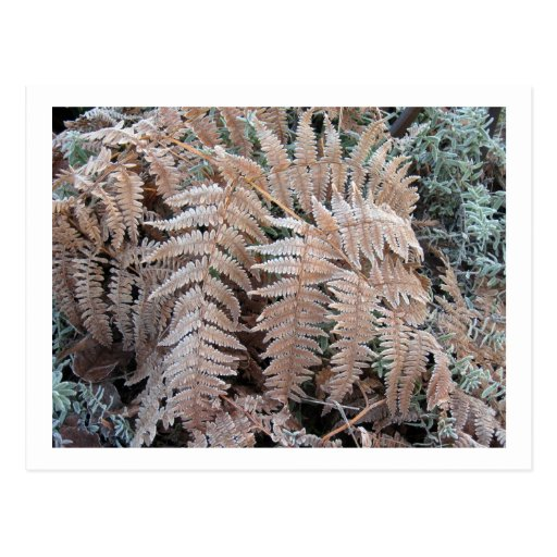 Fern Frond Frosted Post Card