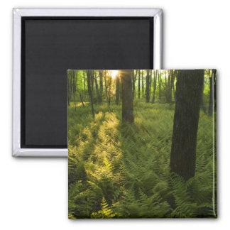Ferns in the forest in Grafton, Massachusetts. Magnet