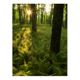 Ferns in the forest in Grafton, Massachusetts. Postcard