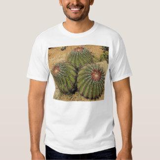 Ferocactus - cactus de barril playera