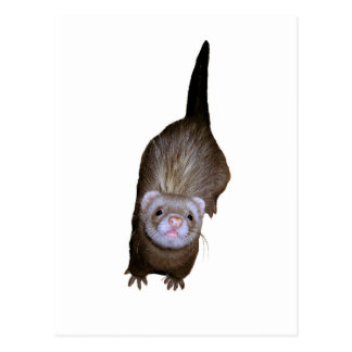 Ferret Postcard