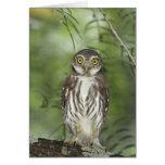 Ferruginous Pygmy-Owl, Glaucidium brasilianum, 2 Greeting Card