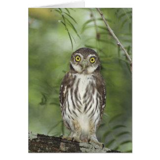 Ferruginous Pygmy-Owl, Glaucidium brasilianum, 2 Cards