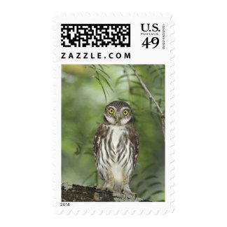 Ferruginous Pygmy-Owl, Glaucidium brasilianum, 2 Postage Stamp