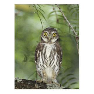 Ferruginous Pygmy-Owl, Glaucidium brasilianum, 2 Postcard