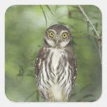Ferruginous Pygmy-Owl, Glaucidium brasilianum, 2 Square Sticker