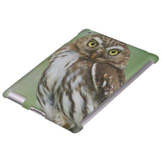 Ferruginous Pygmy-Owl, Glaucidium brasilianum, 3